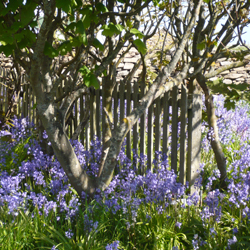 Bluebells under the trees in May